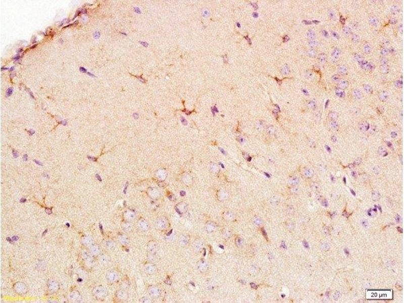 Immunohistochemistry (Paraffin-embedded Sections) (IHC (p)) image for anti-Solute Carrier Family 1 (Glial High Affinity Glutamate Transporter), Member 3 (SLC1A3) (AA 335-385) antibody (ABIN730783)