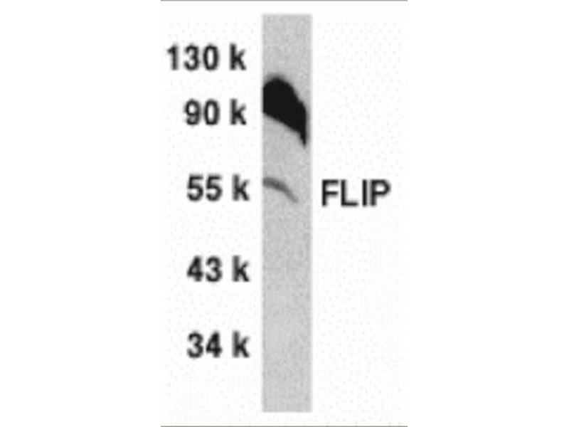 Western Blotting (WB) image for anti-CFLAR antibody (CASP8 and FADD-Like Apoptosis Regulator) (C-Term) (ABIN4312113)