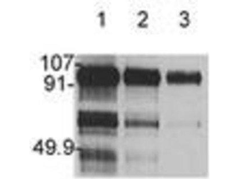 Western Blotting (WB) image for anti-HGF antibody (Hepatocyte Growth Factor (Hepapoietin A, Scatter Factor)) (ABIN438999)