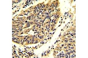 Immunohistochemistry (IHC) image for anti-WNT4 antibody (Wingless-Type MMTV Integration Site Family, Member 4) (AA 242-269) (ABIN3029632)