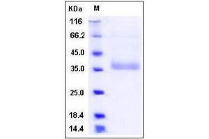 Image no. 1 for Natural Cytotoxicity Triggering Receptor 2 (NCR2) (Extracellular Domain), (AA 1-190) protein (His tag) (ABIN2004349)