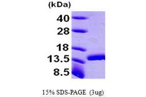 Image no. 1 for D-Dopachrome Tautomerase (DDT) (AA 1-118) protein (His tag) (ABIN667020)