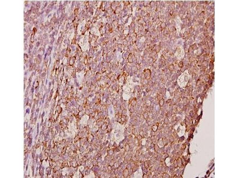 Immunohistochemistry (Paraffin-embedded Sections) (IHC (p)) image for anti-Ephrin A1 antibody (EFNA1) (ABIN498276)