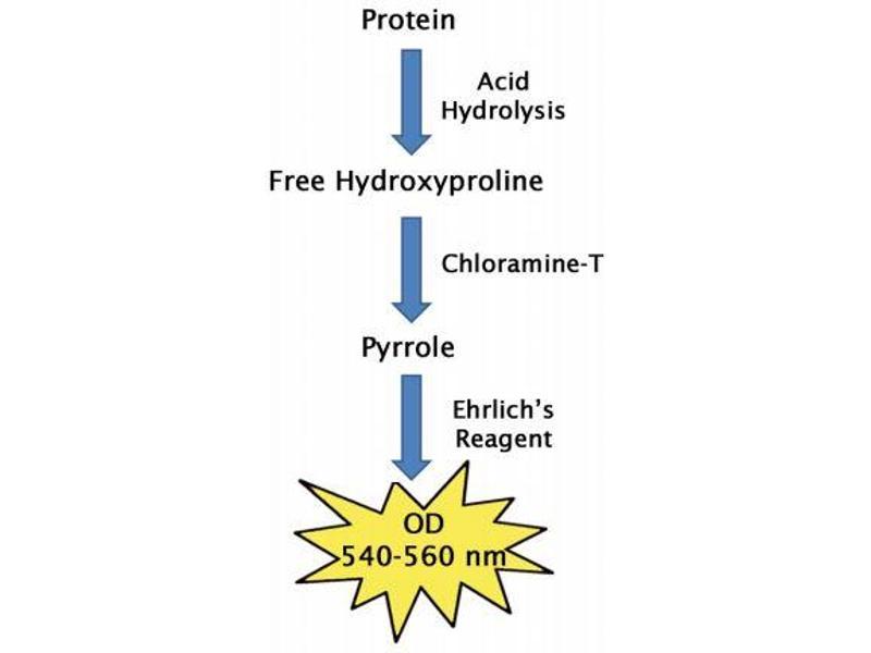 image for Hydroxyproline Assay Kit (ABIN5067614)