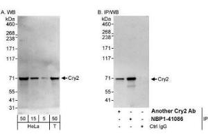Western Blotting (WB) image for anti-Cryptochrome 2 (Photolyase-Like) (CRY2) (AA 543-593) antibody (ABIN445427)