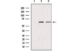 Image no. 2 for anti-Polymerase I and Transcript Release Factor (PTRF) (pTyr156) antibody (ABIN6272158)