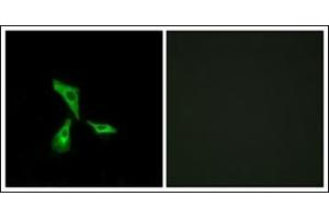 Image no. 1 for anti-G Protein-Coupled Receptor 101 (GPR101) (C-Term) antibody (ABIN1107420)