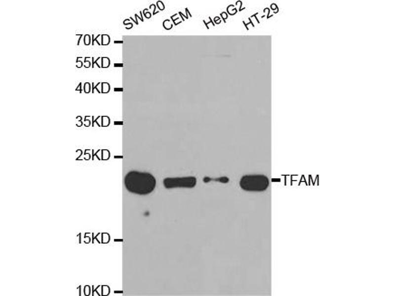 Western Blotting (WB) image for anti-Transcription Factor A, Mitochondrial (TFAM) antibody (ABIN2973024)