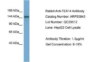 Image no. 2 for anti-Testis Expressed 14 (TEX14) (Middle Region) antibody (ABIN2785611)