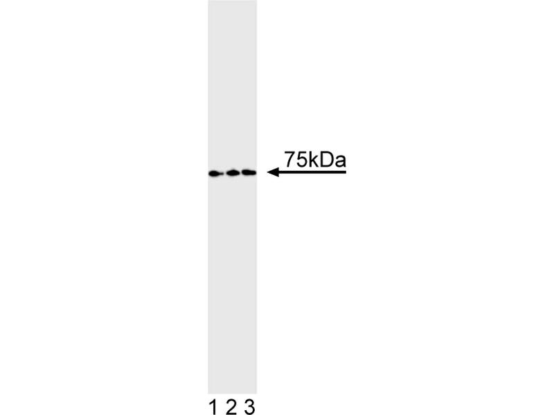 Western Blotting (WB) image for anti-TCF3 antibody (Transcription Factor 3) (ABIN967433)