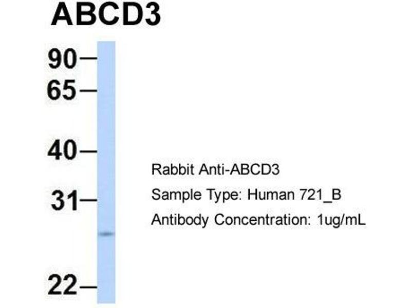 Image no. 1 for anti-Chemokine (C-X3-C Motif) Ligand 1 (CX3CL1) (N-Term) antibody (ABIN2781504)