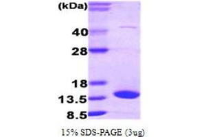 Image no. 1 for Fatty Acid Binding Protein 7, Brain (FABP7) (AA 1-132) protein (ABIN667716)