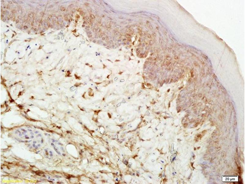 Immunohistochemistry (IHC) image for anti-Mu Opioid Receptor 1 antibody (Opioid Receptor, mu 1) (AA 180-230) (ABIN701755)
