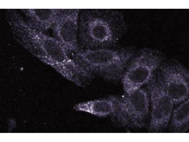 Immunofluorescence (IF) image for anti-UBE2L3 antibody (Ubiquitin-Conjugating Enzyme E2L 3) (AA 15-133) (ABIN968215)