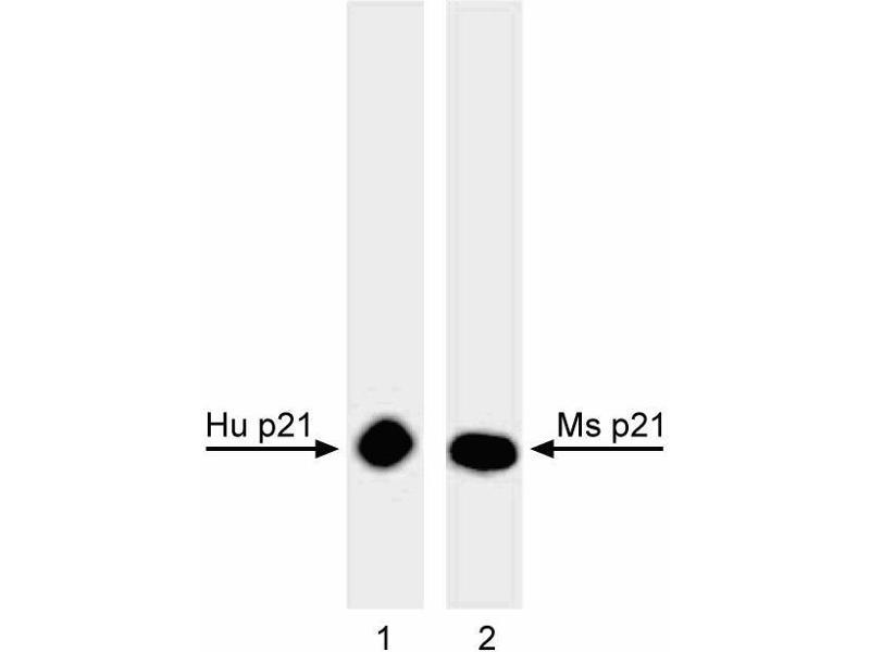 Western Blotting (WB) image for anti-K-RAS antibody (GTPase Kras) (ABIN967527)