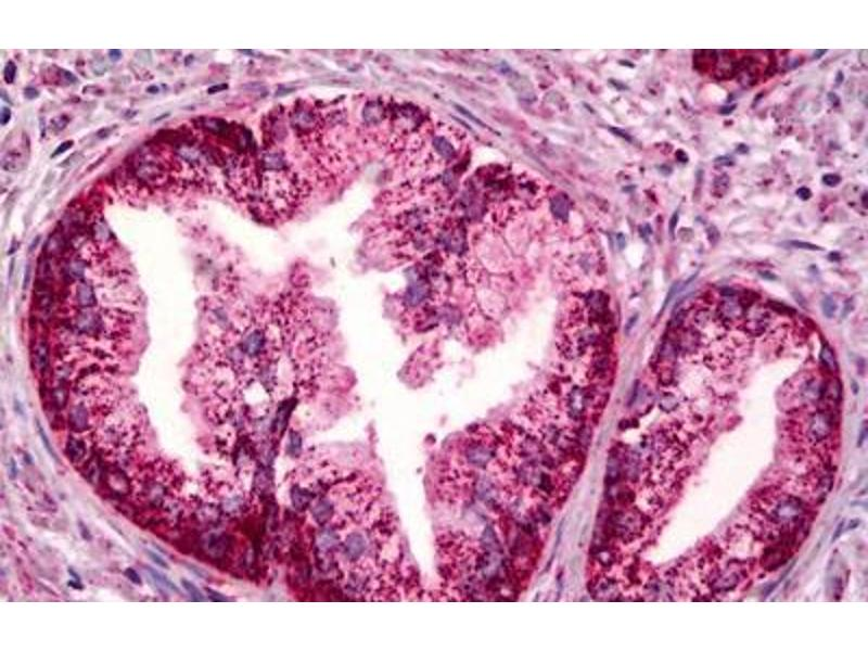 Image no. 1 for anti-Prostaglandin E Receptor 4 (Subtype EP4) (PTGER4) antibody (ABIN2451693)