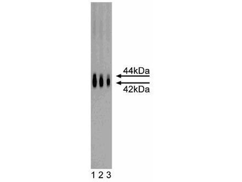 Western Blotting (WB) image for anti-MAPK3 antibody (Mitogen-Activated Protein Kinase 3) (AA 325-345) (ABIN967701)