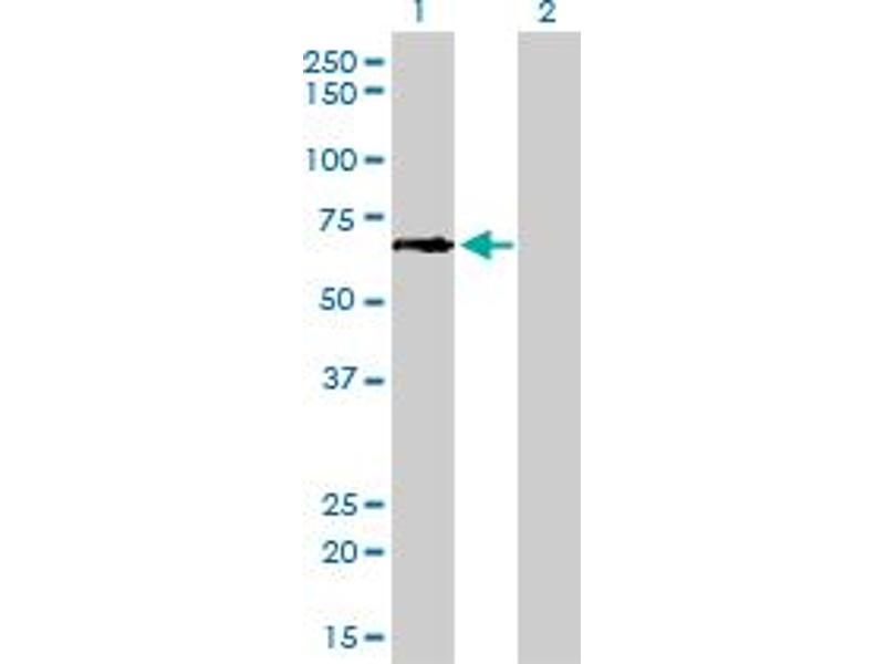 Image no. 4 for anti-Glutamate-Cysteine Ligase, Catalytic Subunit (GCLC) (AA 528-637) antibody (ABIN561050)