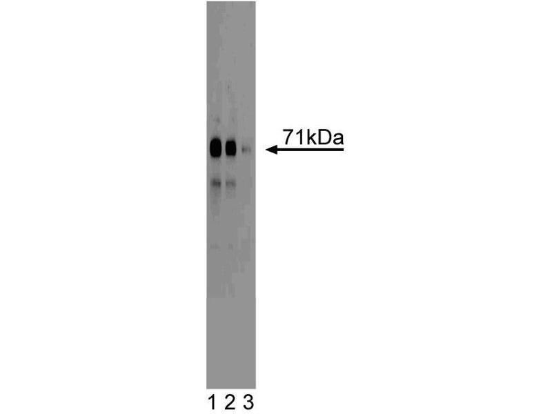Western Blotting (WB) image for anti-Mitogen-Activated Protein Kinase Kinase Kinase 3 (MAP3K3) (AA 27-135) antibody (ABIN968366)