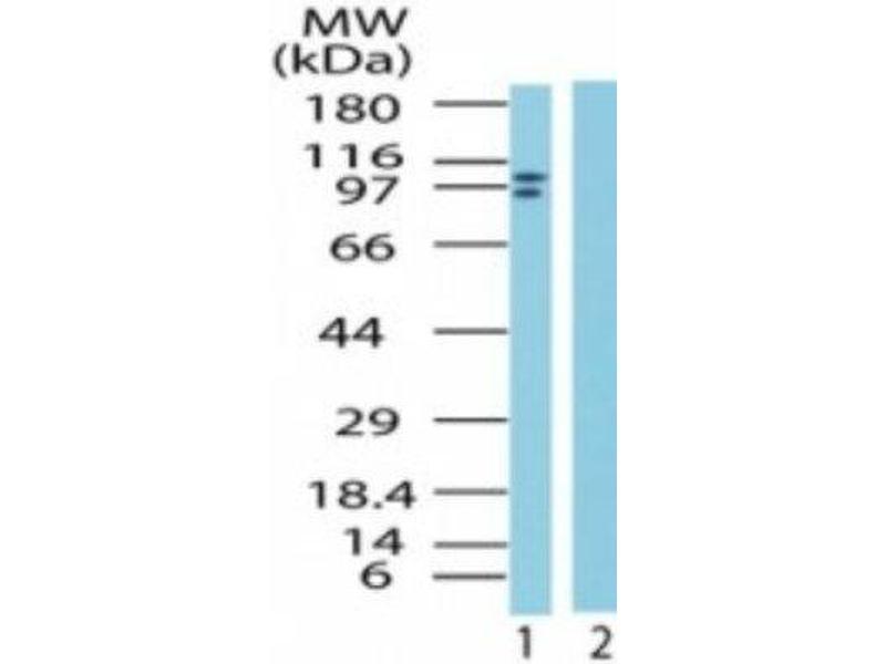 Western Blotting (WB) image for anti-Lysine (K)-Specific Demethylase 1A (KDM1A) antibody (ABIN4331727)