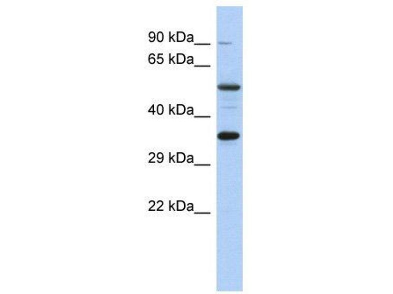 Western Blotting (WB) image for anti-CREB1 antibody (CAMP Responsive Element Binding Protein 1) (Middle Region) (ABIN2778454)