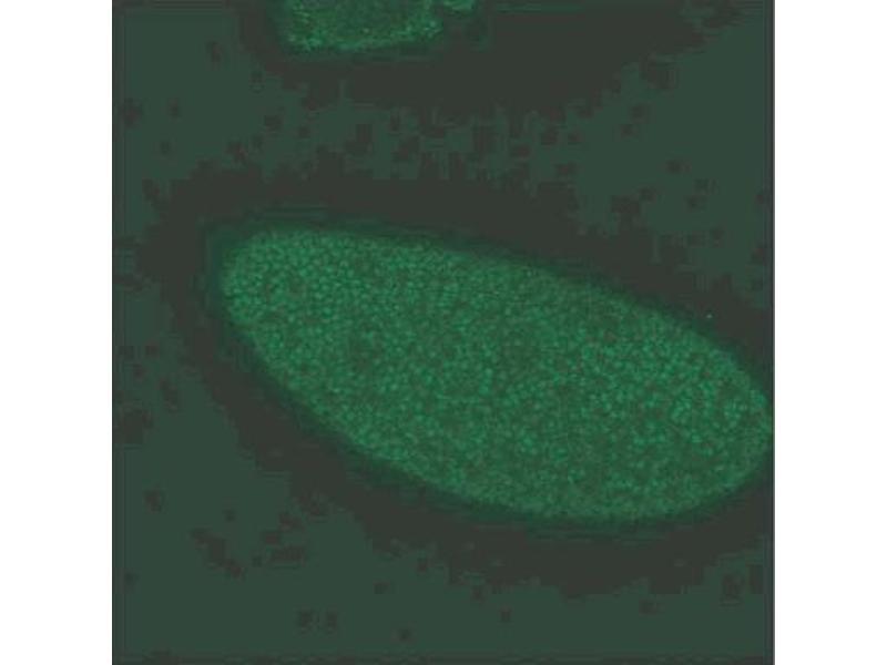 image for anti-Gephyrin antibody (GPHN) (AA 569-726) (ABIN968898)