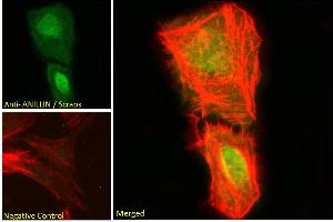Image no. 2 for anti-Anillin, Actin Binding Protein (ANLN) (C-Term) antibody (ABIN185086)