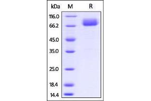 Image no. 1 for CD80 (CD80) (AA 38-245) (Active) protein (Fc Tag) (ABIN2870713)