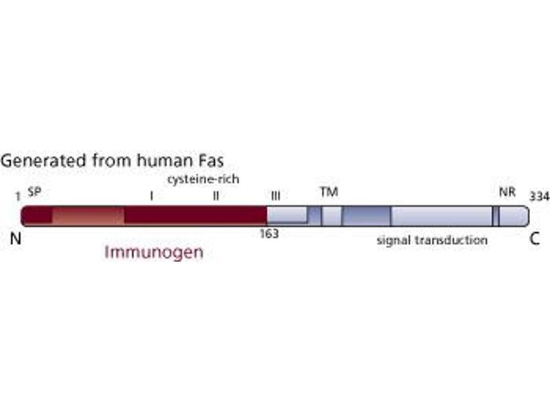 Image no. 3 for anti-FAS antibody (Fas (TNF Receptor Superfamily, Member 6)) (AA 1-163) (ABIN967817)