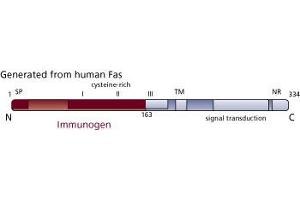 anti-Fas (TNF Receptor Superfamily, Member 6) (FAS) (AA 1-163) antibody (3)