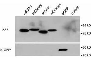Image no. 1 for anti-Red Fluorescent Protein (RFP) antibody (ABIN334653)