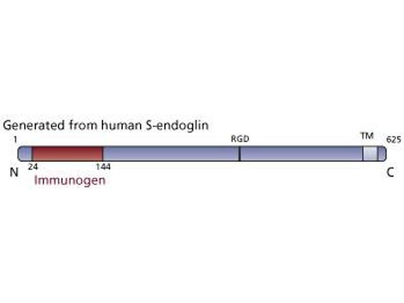image for anti-Endoglin (ENG) (AA 24-144) antibody (ABIN968468)