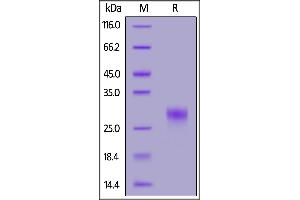 Image no. 2 for CD8a Molecule (CD8A) (AA 22-182) (Active) protein (His tag) (ABIN7013444)