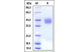 Image no. 1 for CD276 Molecule (CD276) (AA 29-245) protein (His tag) (ABIN2870607)