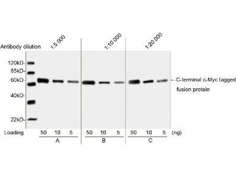 image for anti-Myc Tag antibody (ABIN2585197)
