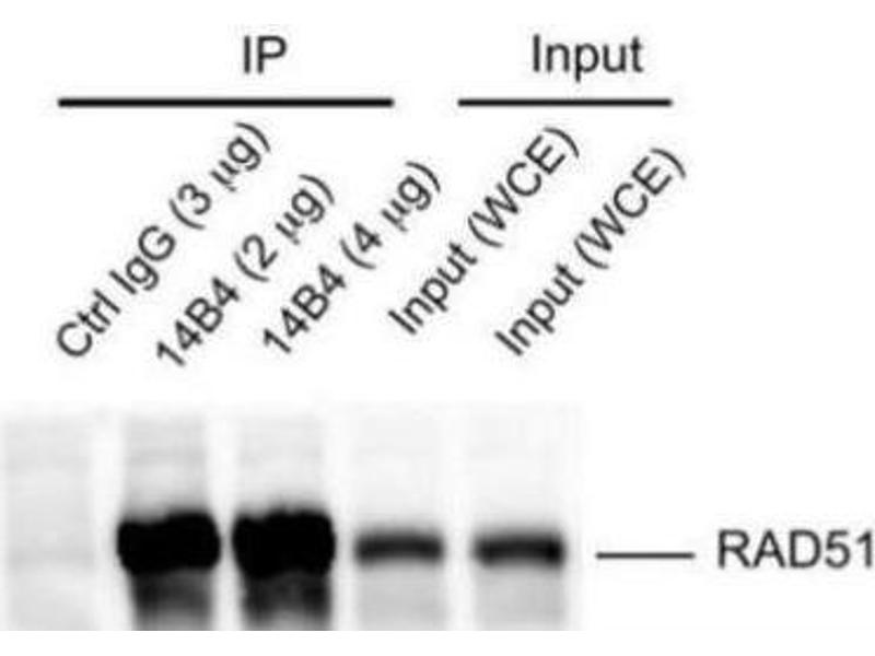 Immunoprecipitation (IP) image for anti-RAD51 antibody (DNA Repair Protein Homolog 1) (ABIN151080)