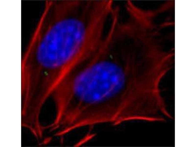 Immunofluorescence (IF) image for anti-Tubulin, gamma 1 (TUBG1) antibody (ABIN265871)