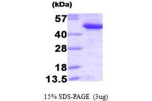 Image no. 1 for C-terminal Binding Protein 1 (CTBP1) (AA 1-440) protein (ABIN666954)