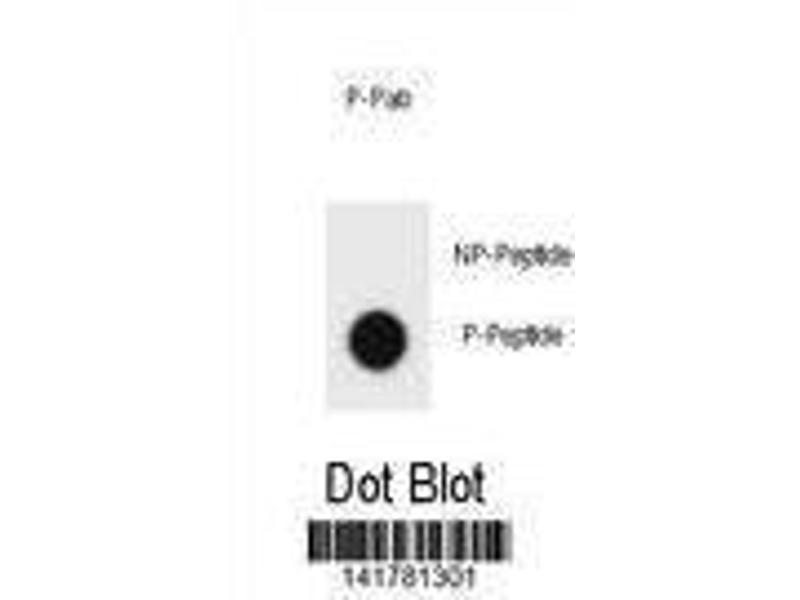 Dot Blot (DB) image for anti-V-Erb-B2 erythroblastic Leukemia Viral Oncogene Homolog 2, Neuro/glioblastoma Derived Oncogene Homolog (Avian) (ERBB2) (pTyr1005) antibody (ABIN1881312)