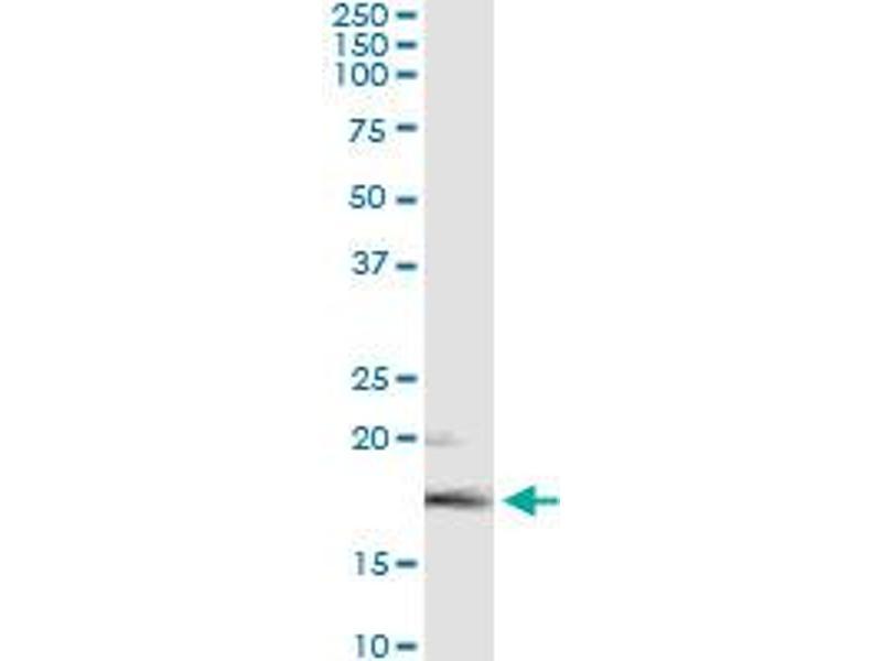 Immunoprecipitation (IP) image for anti-Fibroblast Growth Factor 5 (FGF5) (AA 159-268) antibody (ABIN515612)