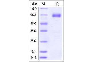 Image no. 1 for Programmed Cell Death 1 Ligand 2 (PDCD1LG2) (AA 20-219) (Active) protein (Fc Tag) (ABIN2870685)