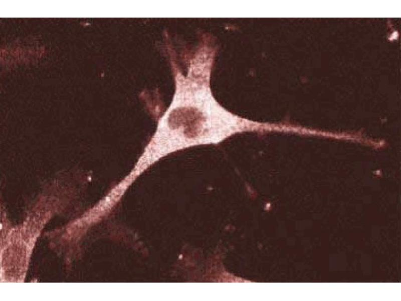 Immunofluorescence (IF) image for anti-Enabled Homolog (Drosophila) (ENAH) (AA 415-541) antibody (ABIN968114)