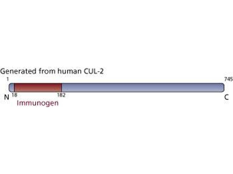 Image no. 3 for anti-Cullin 2 antibody (CUL2) (AA 18-182) (ABIN968173)