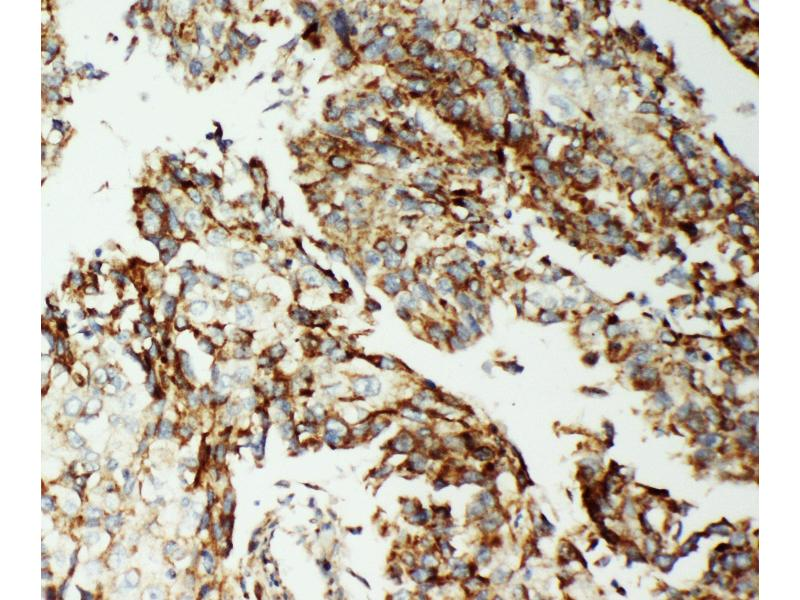 Image no. 3 for anti-Apoptosis-Inducing Factor, Mitochondrion-Associated, 1 (AIFM1) (AA 596-613), (C-Term) antibody (ABIN3044471)