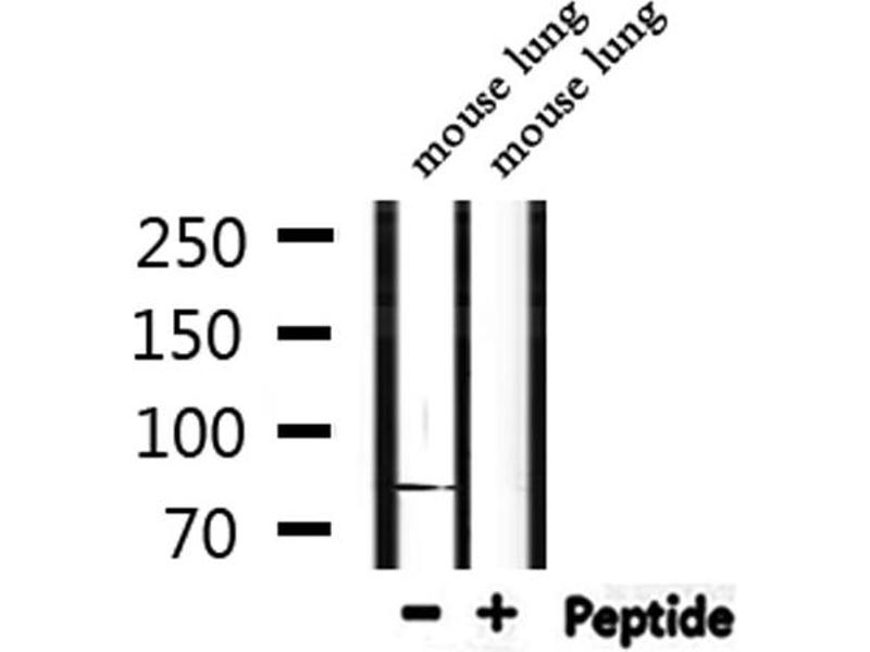 Image no. 2 for anti-DEAD Box Protein 4 (DDX4) (AA 273-277) antibody (ABIN6267780)