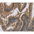 anti-Potassium Voltage-Gated Channel, Shaker-Related Subfamily, Member 7 (KCNA7) antibody