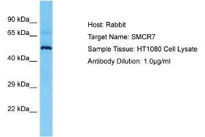 Image no. 1 for anti-Smith-Magenis Syndrome Chromosome Region, Candidate 7 (SMCR7) (N-Term) antibody (ABIN2791915)
