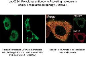 image for anti-Autophagy/beclin-1 Regulator 1 (AMBRA1) (N-Term) antibody (ABIN347118)