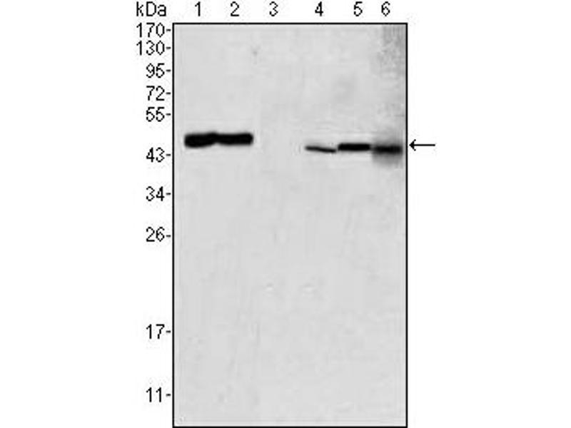 Western Blotting (WB) image for anti-Glutamic-Oxaloacetic Transaminase 2, Mitochondrial (Aspartate Aminotransferase 2) (GOT2) antibody (ABIN1107417)