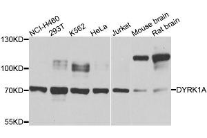 Image no. 1 for anti-Dual-Specificity tyrosine-(Y)-phosphorylation Regulated Kinase 1A (DYRK1A) antibody (ABIN6566622)
